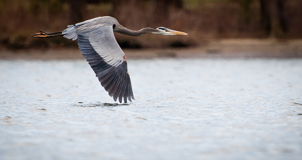 Washington, DC | Waterfowl Sanctuary | Heron | Wildlife Photography | Kami Swingle
